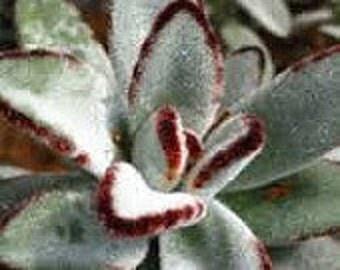 Succulent Plant  Kalanchoe Panda Plant
