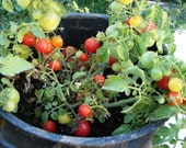 Tiny Tim Tomato Heirloom Garden Seed Non-GMO 30+ Seeds True Dwarf Tomato Container Garden Grow Inside Open Pollinated