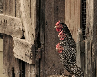 Rooster Decor Photo, Chicken Art Print, Rustic Farm Photography, 8x10 16x20 or 24x30