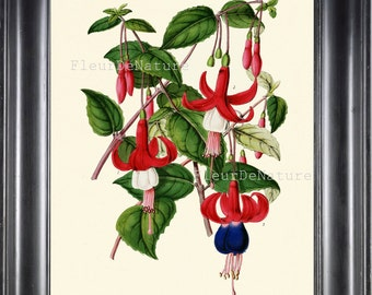 BOTANICAL PRINT Horticole 8x10 Botanical Art Print 33 Beautiful Fuchsia Flower Plant Red Blue Garden Nature to Frame Room Decor