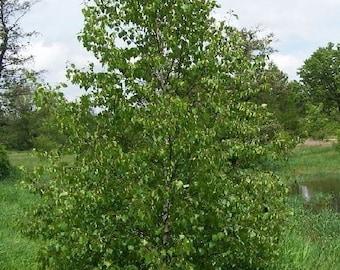 500 Asian White Birch Tree Seeds, Betula platyphylla
