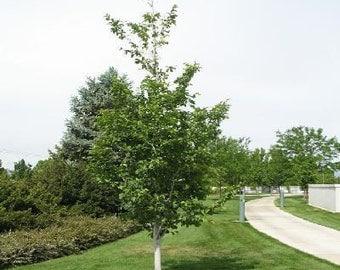 50 Hardy Rubber Tree Seeds, Eucommia ulmoides