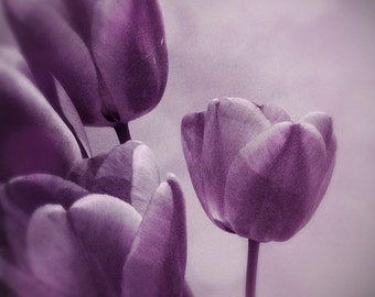 Purple tulip photo, purple tulips, flower photography, ethereal art, lilac, lavender, iPhone photo