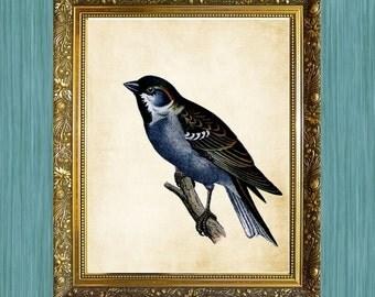 Bird Print Natural History Art Print 8 x 10 Blue Bird Print