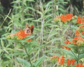Butterfly on Orange Milkweed, Wildflower Series, Art Photography