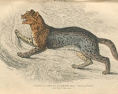 SALE Antique Hand Colored Steel Engraved 1843 Book Plate Print Jardine Natural History Library Mammalia Lions Tigers