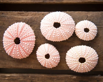 Pink Sea Urchins Set of 5