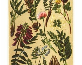 Natural History Print Of Antique Alpen Flowers original Print