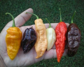 Bhut Jolokia Pepper Seed **ULTIMATE** COLLECTION (White,Purple,Peach and More)