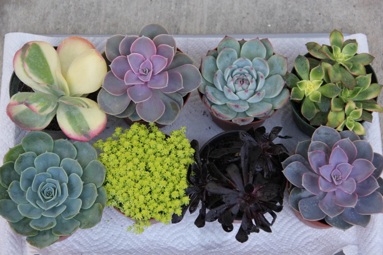 8 Large Succulent Plants 4 Containers
