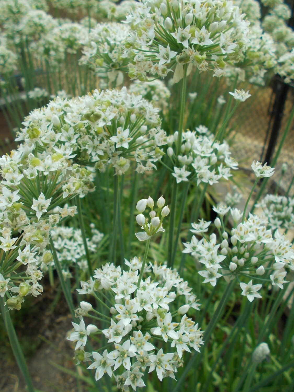 Garlic Chive Seeds For Herb Gardens Culinary Herb
