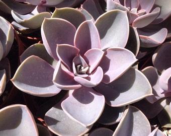 Succulent plant, Echeveria perle Von Nurnberg, beautiful soft colors of pink and purple.