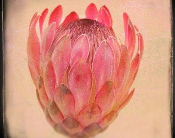 Pink Protea print, exotic flower bloom, hot pink peach and cream, bokeh home decor, gardeners world, wall art square