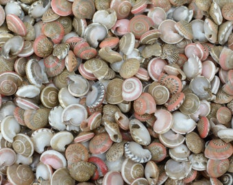 """Small Natural Pink Umbonium Seashell - .25'-.5""""- (approx 150 pieces) Beach Wedding Crafting and Supplies Shells - Button Top - Vase filler"""