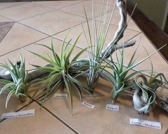 A collection of five larger size air plants