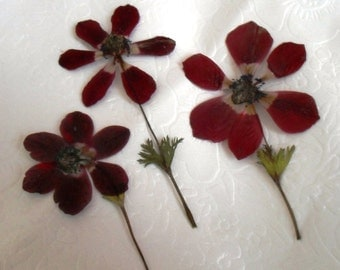 Dried Pressed Flowers / Botanicals. Red Anenome with stem, vibrant colour.