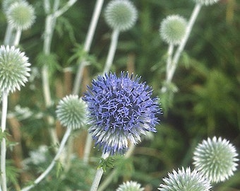 Globe Thistle Plant 2015 Seeds