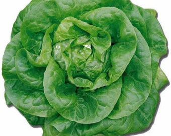 1,000 *HEIRLOOM* Buttercrunch Lettuce Seeds