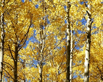 Yellow Autumn Aspens and Sky