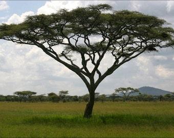 5 Seeds Acacia elatior, river acacia Seeds,