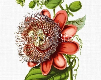 Red Passiflora Old Image Flower Drawing - Vintage Illustration