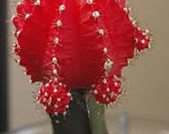 Small Cactus Plant. Grafted Moon Cactus.  Brilliant Ruby coloring is beautiful.