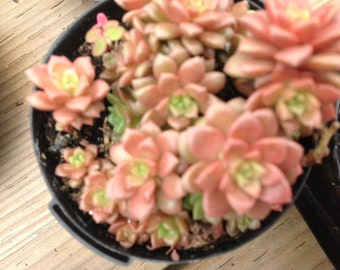 Succulent plant, Cremnsedum, Little Gem hybrid of Sedum and Cremnophila, forms mate of tiny rosettes.