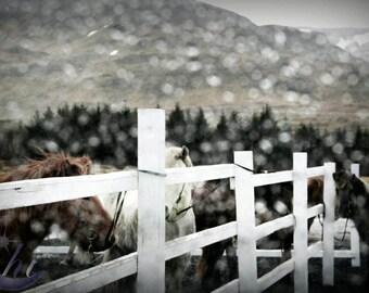 Nature Photography.  Icelandic Horse Photography. 8x12 Print