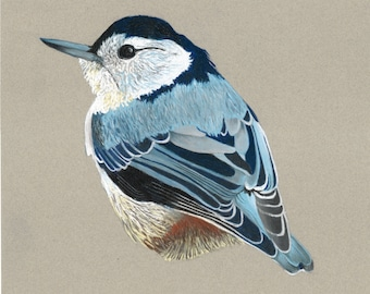 Print of an original pastel drawing of a white breasted nuthatch
