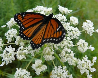 12 Wild Queen Anne's Lace ~Naturalize~Attracts Butterflys~Wildflower Garden