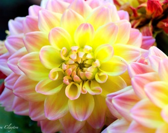 Pink & Yellow Dahlia Flowers