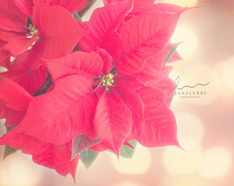 Dreamy Red Ponsettia
