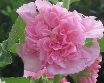 Alcea Pink Double Hollyhock  Flower Seeds / Perennial  30+