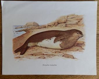 Vintage Print Monachus Monachus (Mediterranean Monk Seal) by Helmut Diller