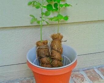 Organic Moringa Tree Sapling/Seedling