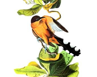 Mangrove Cuckoo 1979 Vintage Audubon Bird Print Book Plate
