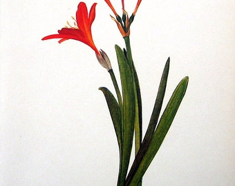 Red Flower Print - 1968 Vintage Flowers Book - Scarborough Lily
