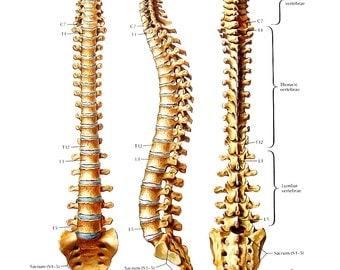 Anatomy Print - Vertebral Column, Thoracic Vertebrae - Human Bones - Human Anatomy - 1989 Vintage Book Page - 12 x 9