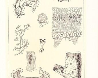 1903 Botany Print - Lichens - Vintage Antique Home Decor Book Plate Art Illustration for Framing 100 Years Old