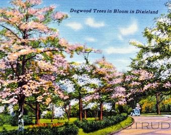 1950s Postcard.Dogwood Trees in Bloom, Dixieland