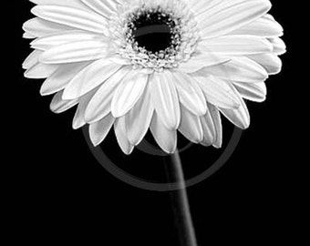 White Gerber Daisy, Pretty Flower Photo, Gerbers