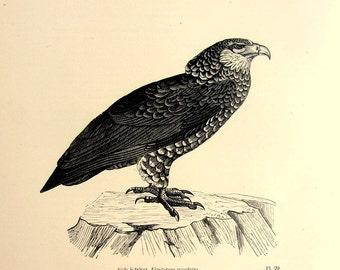 Antique bird print, original 1860 bateleur eagle engraving, natural history animal plate illustration.