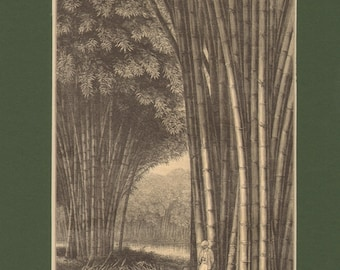 1896 Antique Matted Engraving of a Bamboo Forest