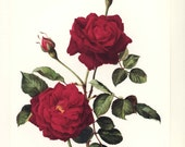 "Vintage French Decor ""Guinee Rose"" Wall Art Botanical Print (French Wall Decor, Botanical Art, Garnet Red Rose Print) No. 12"