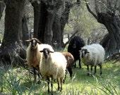 Five-Fold, sheep photography, flock, Greek, pastoral, olives, herd, mythology, trees, ram, ewe, dreamy, meadow, wool, black, cream, Greece