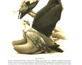 1959 Vintage vulture print Scavenger bird art Bird illustration Antique bird print Vintage ornithology art Vulture bird Griffon bird