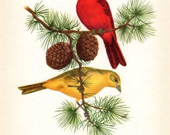 Tanager Vintage Bird Print Axel Amuchastegui 1959 Antique Bird Print Ornithology Nest Vintage Bird Print