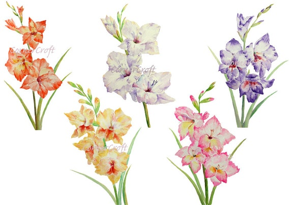 Hand Painted Watercolour Flowers Gladiolus White Yellow Pink