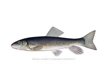 Fish Graphic - High Resolution Digital Download No.523