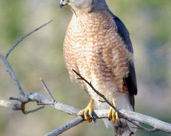 Cooper's Hawk Photograph, Fine Art Print, Bird Photography, Nature, Bird Art, Wall Art, The Hunter